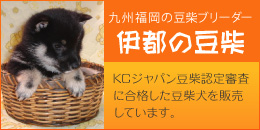 九州福岡の豆柴ブリーダー「伊都の豆柴」:KCジャパン豆柴認定審査に合格した豆柴犬を販売しています。